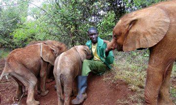 Elefantungene sier ikke nei til litt kos. Det er nok mange som misunner jobben til elefantpasserne hos David Sheldrick Wildlife Trust. Foto: Torild Moland