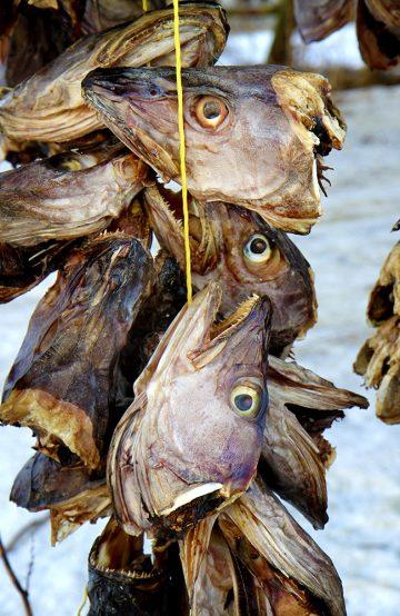 Fiskehjellene i Svolvær er som historiske symbol på tørrfiskproduksjon – og stadig i bruk. Foto: Runar Larsen