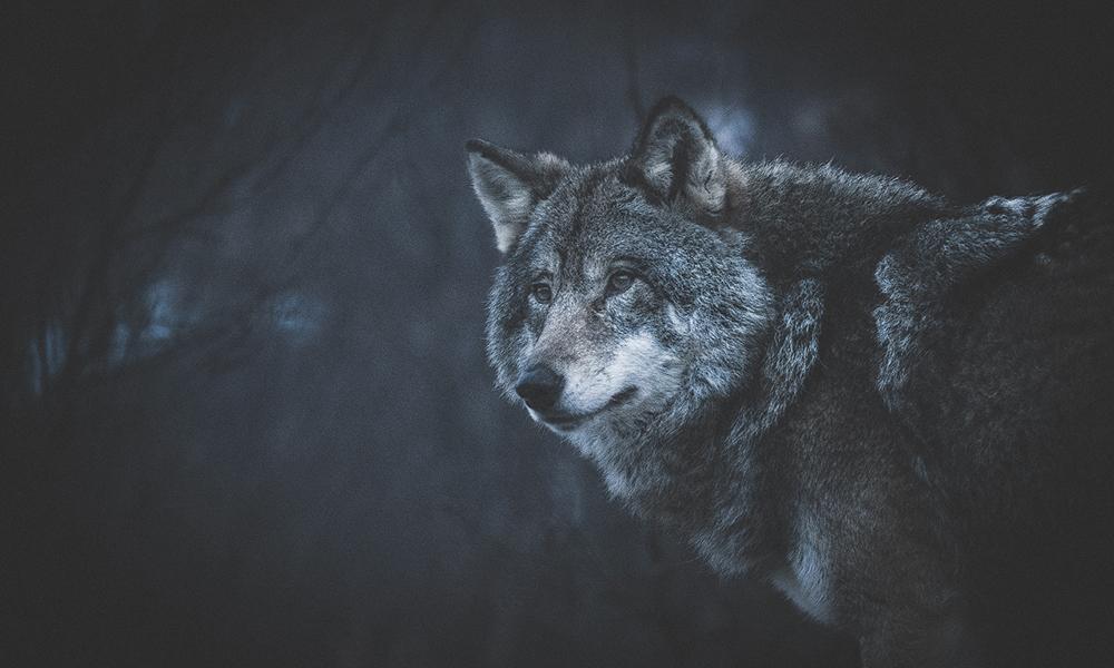 Nordiske rovdyr blir nå byttet ut med litt mer eksotiske kattedyr som fotomodeller. Foto: Stian Klo