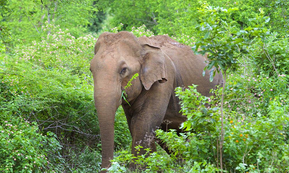 Elefantsafari i Udawalawe er Sri Lankas svar på den afrikanske savannen. Foto: Runar Larsen