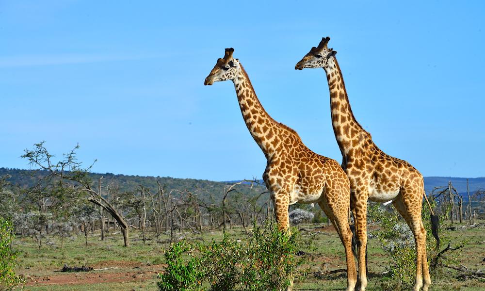 Vakre: Sjiraffene er blant savannens mest elegante skapninger. Foto: Ronny Frimann