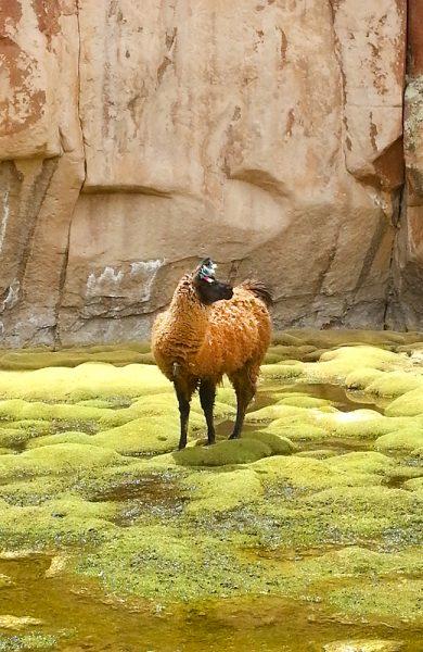 Lamaen er god å ha. Foto: Helene Iversen