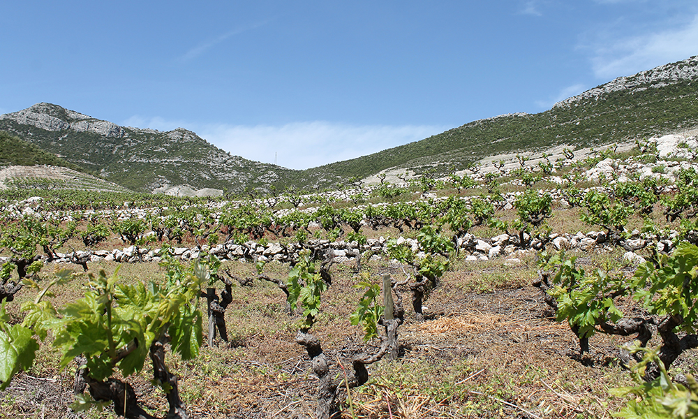 I Pelješac er store områder dominert av vinranker. Her produseres nemlig noen av Kroatias beste viner. Foto: Ida Anett Danielsen