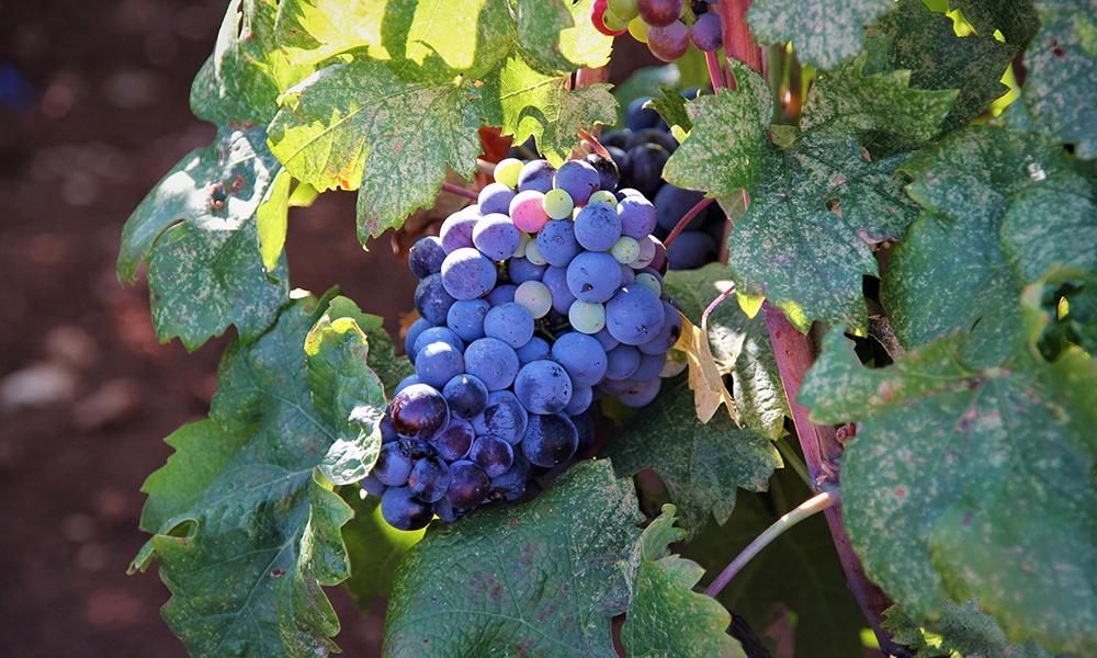 Vinrankene langs veien var tunge av druer. Foto: Kari Wallem Bøe