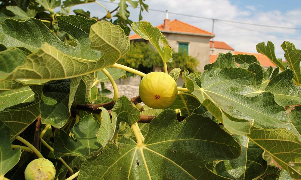 Fikentrærne bugner av frukter. Foto: Kari Wallem Bøe