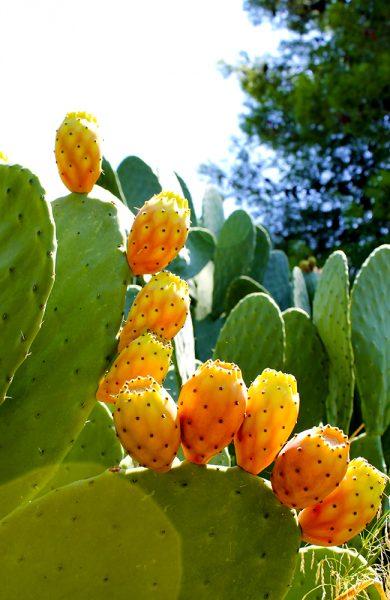 Det kryr av kaktusfiken på Sicilia. Og etter at både skall og pigger er fjernet, smaker de veldig godt også. Foto: Ida Anett Danielsen