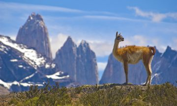 Guanaco (Lama Guanicoe) admiring the Andes. Torres del Paine National Park, Patagonia, Chile.