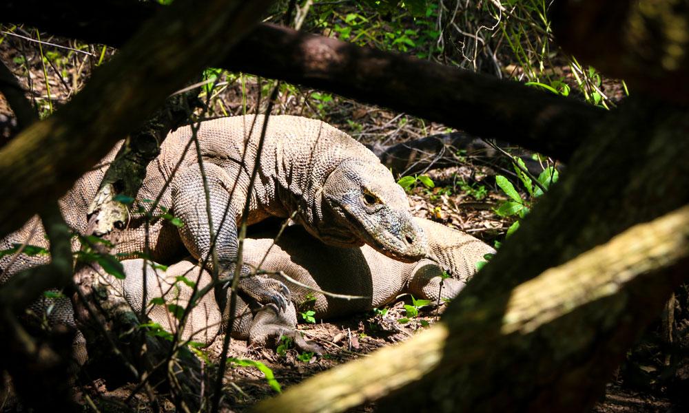 Til slutt oppdager vi en kjempestor komodovaran som ligger og slapper av i buskene. Foto: Preben Danielsen