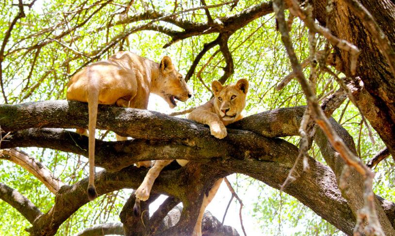 1. Treklatrende løver