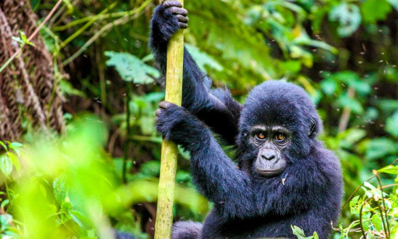 4. Møt en gorilla