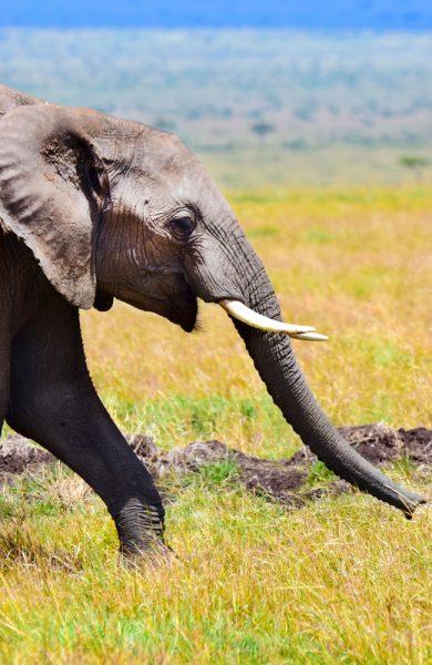Utenfor dyrevandringene er det færre dyr, men det er absolutt muligheter for å blant annet se elefanten vugge sakte over savannen. Foto: Mari Bareksten