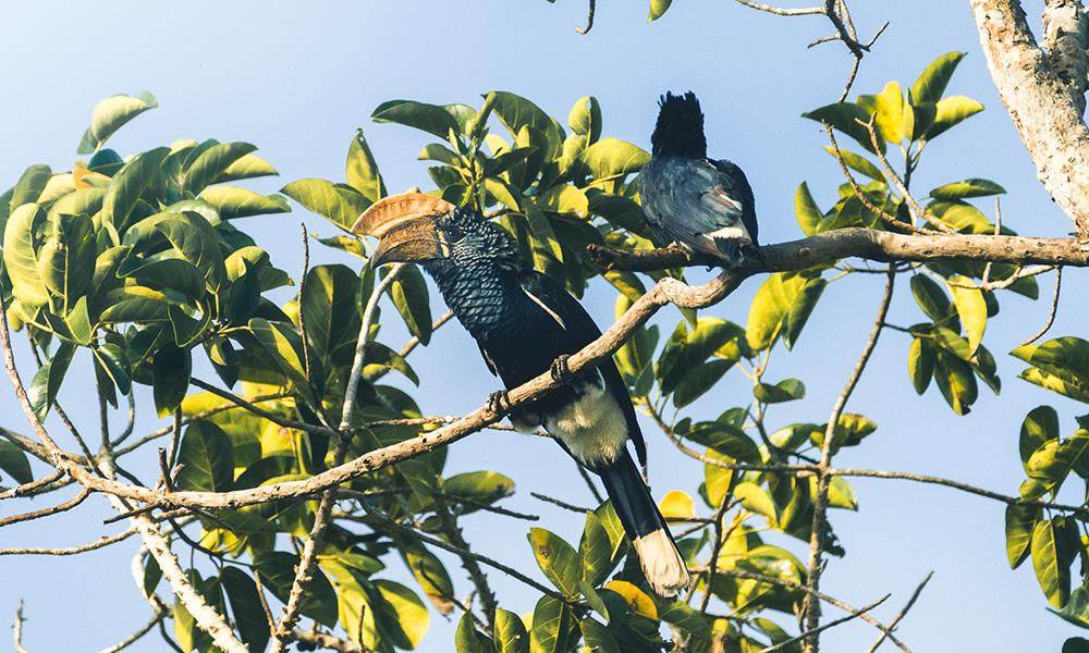 Vakre hornfugler. Foto: Stian Klo