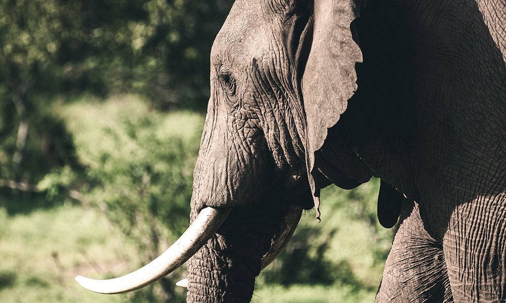 Majestetiske elefanter. Foto: Stian Klo
