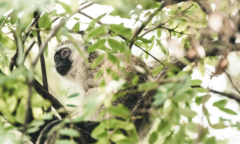 Aper som svingte seg fra gren til gren. Foto: Stian Klo