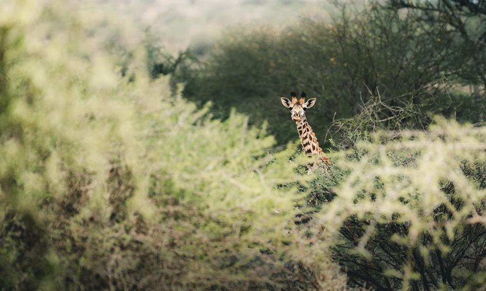 Vårt første møte med dyrelivet i Amboseli. Foto: Stian Klo