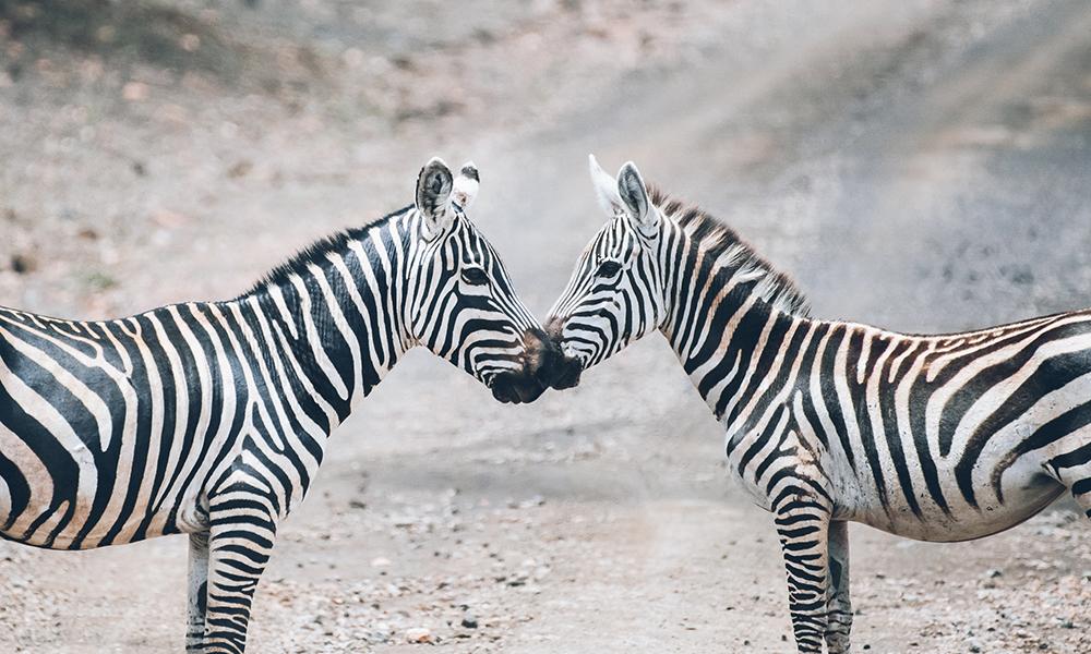 Sebraer i Tsavo West. Foto: Stian Klo