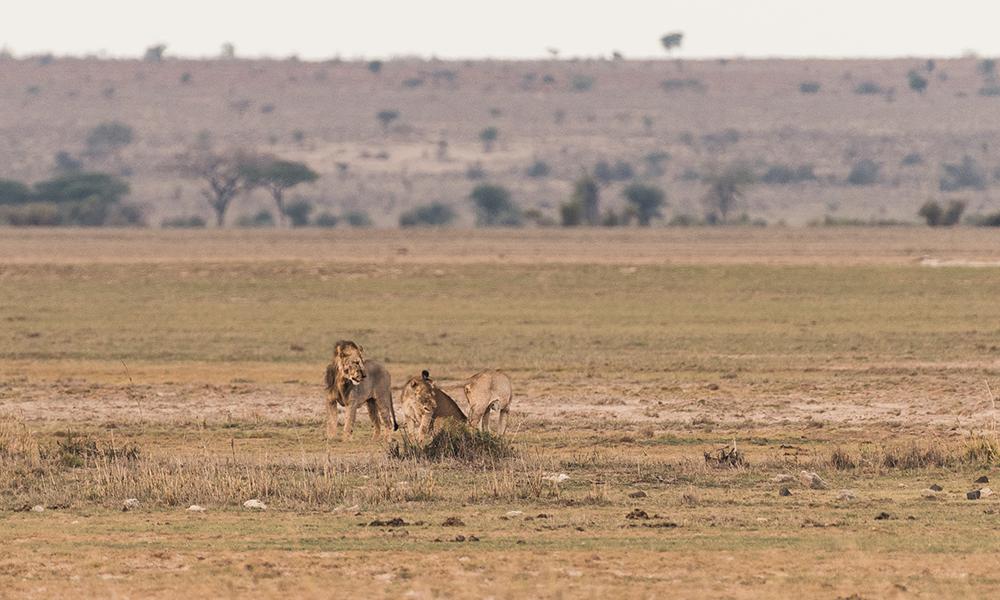Løver på savannen. Foto: Stian Klo