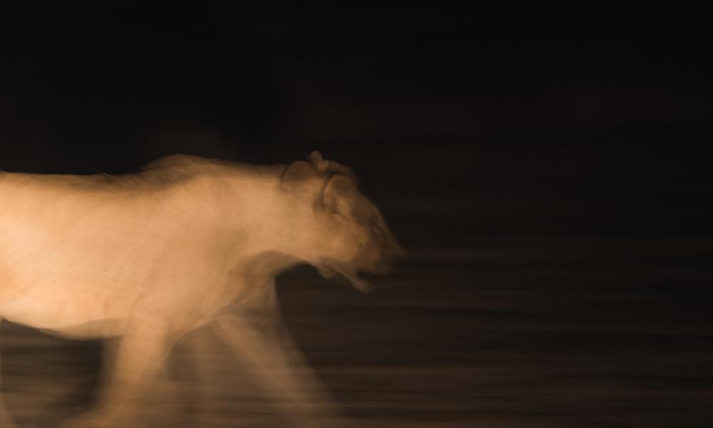 Nattfoto av løve. Foto: Stian Klo