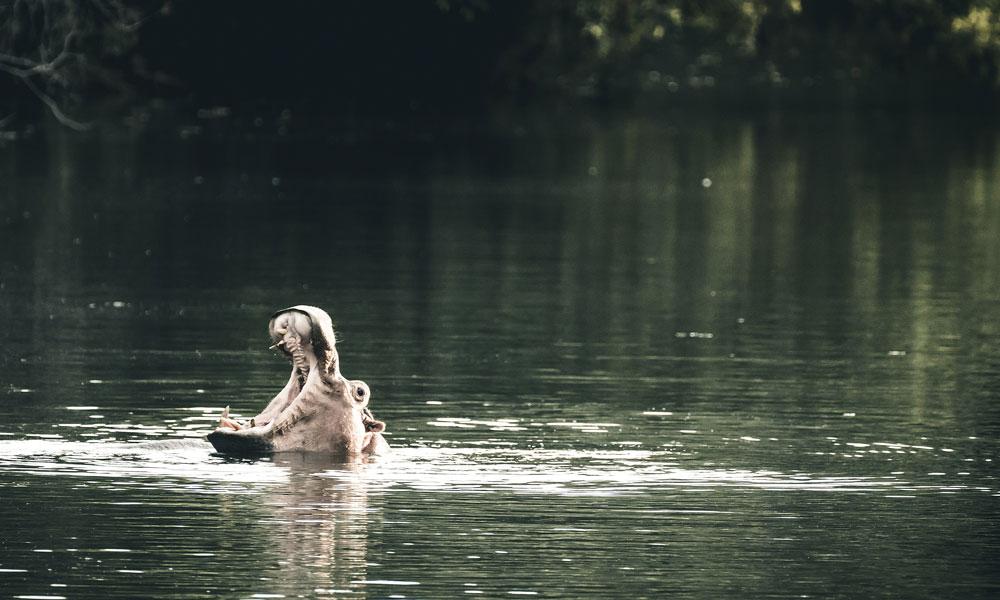 Flodhest i vannet