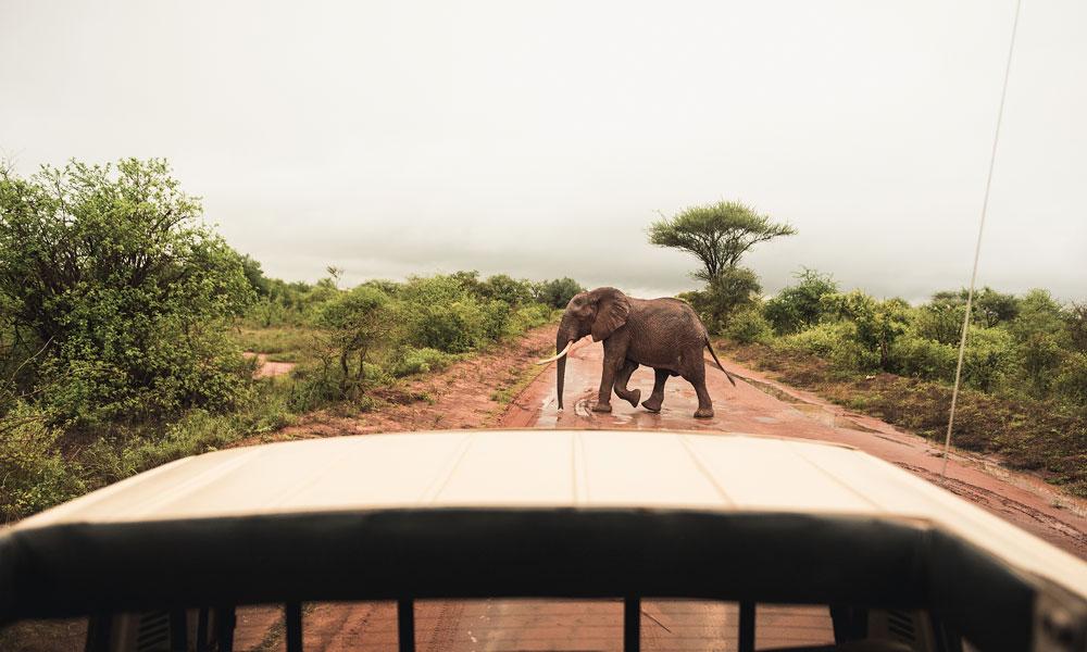 Elefant krysser veien