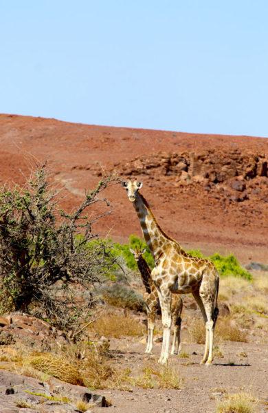 Giraffmamma med barn