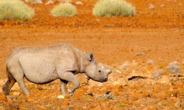 Nesehorn i Namibia