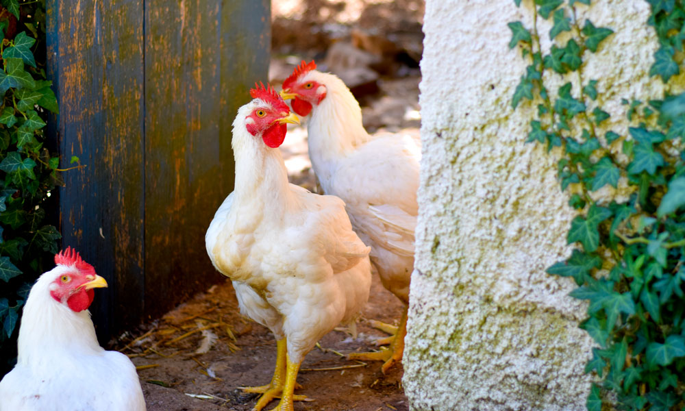 Høner.