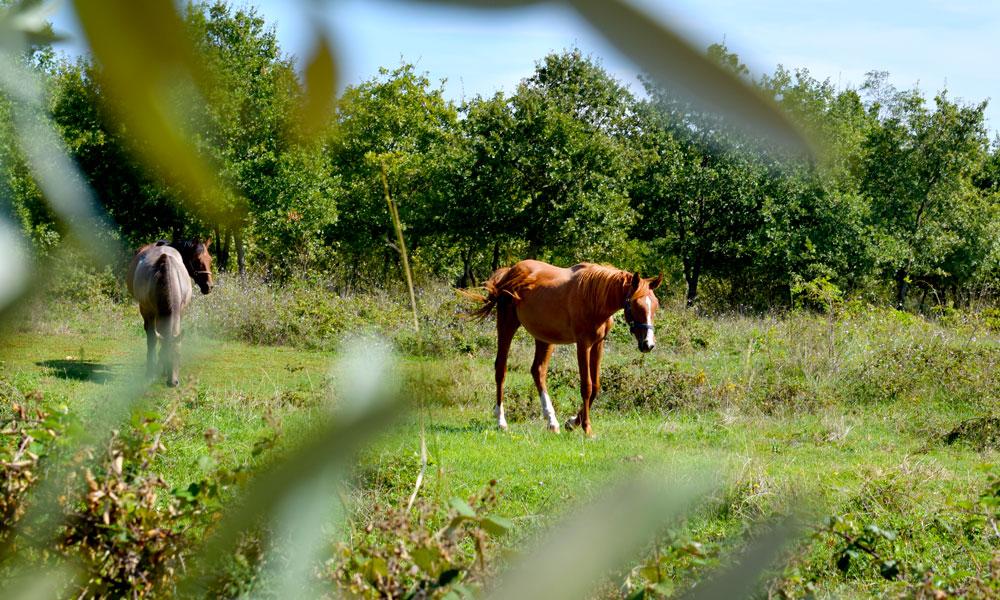 Hester på en grønn eng.