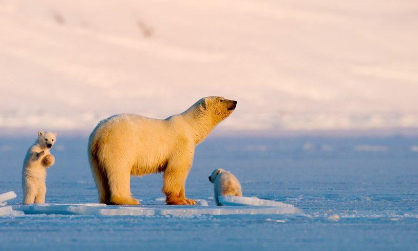 4 Isbjørn