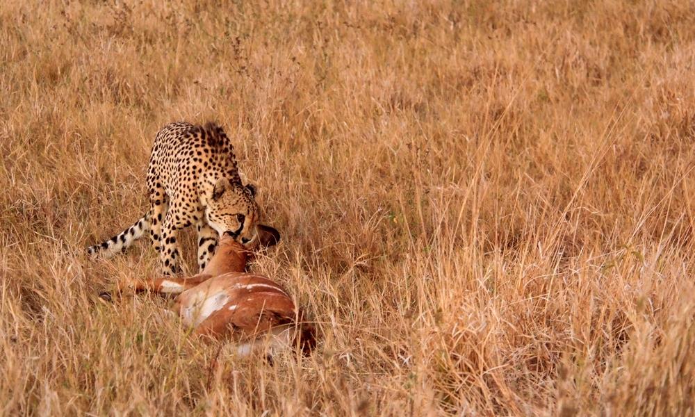 Gepard med bytte