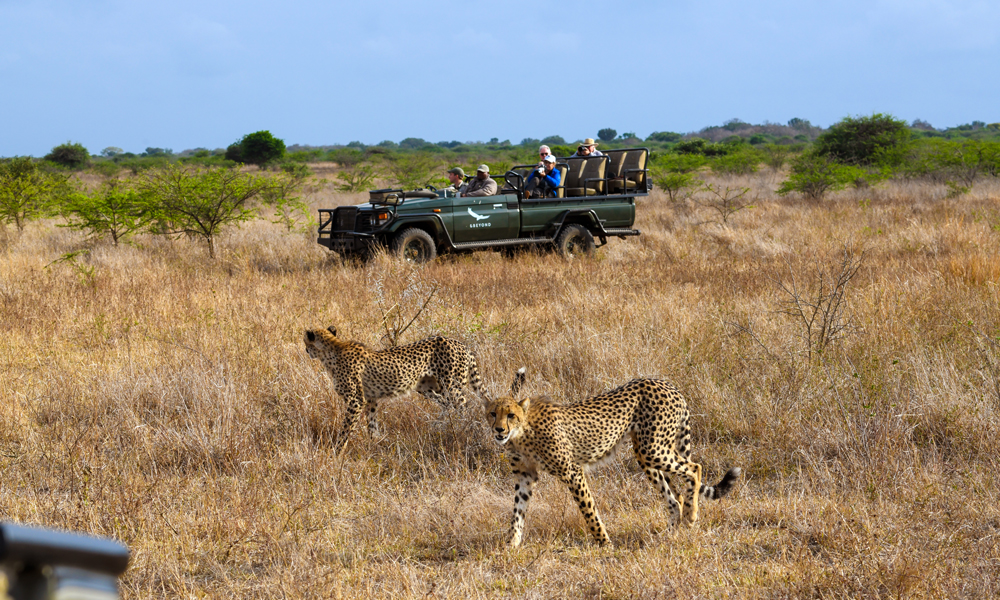 Safaribil og gepard