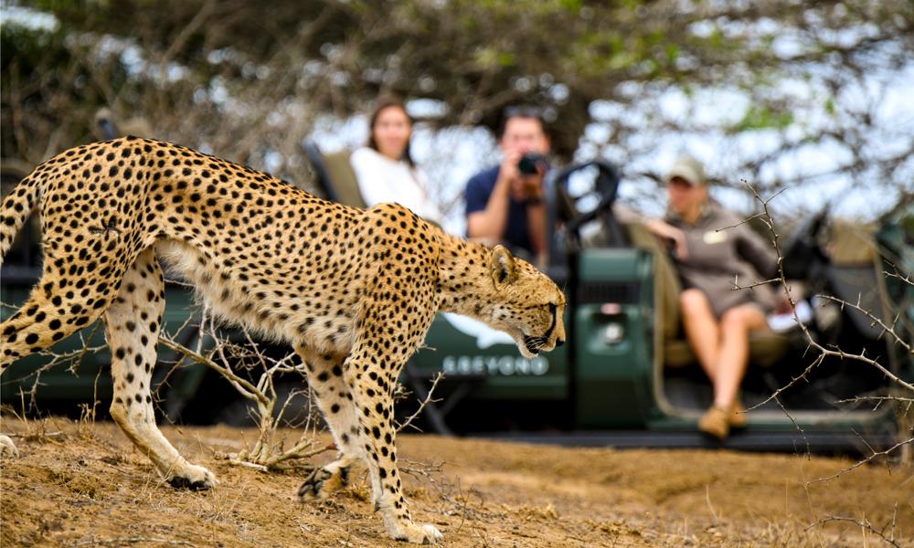 Gepard og safaribil