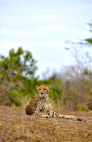 Gepard som slapper av
