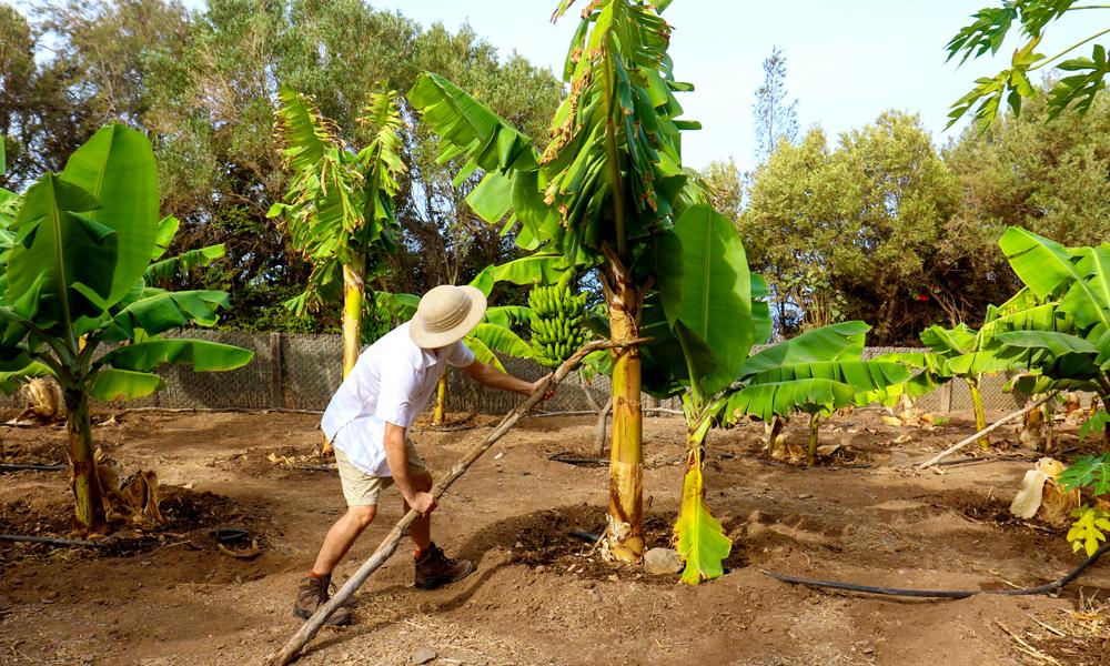 Bananplukking